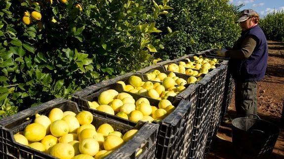 produccion de limones en murcia